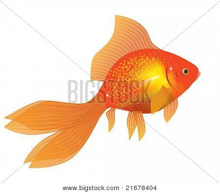 gold fish on white