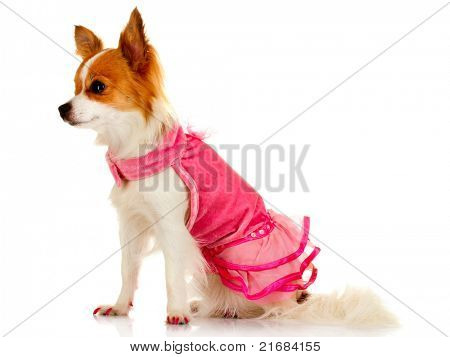 little dog in pink dress isolated on white