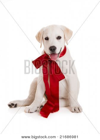 Adorable labrador retriever puppy wearing a red sattin lace, isolated on white