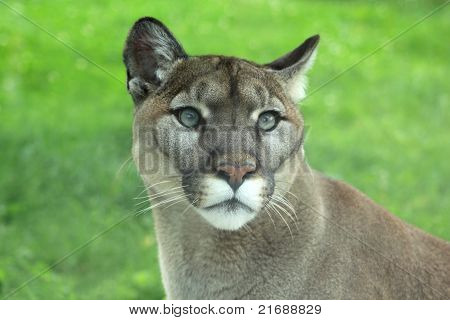 Closeup of Cougar in the grass