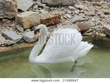 Beautiful Swan with Angel Wings