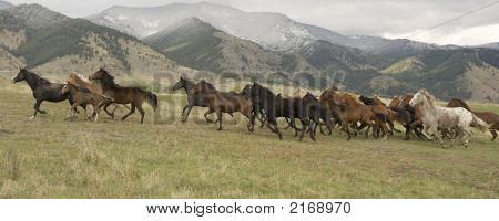Horses And Mules Stampeding