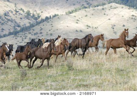 Flüchtende Pferde