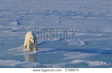 Polar Bear On Hudson'S Bay Ice