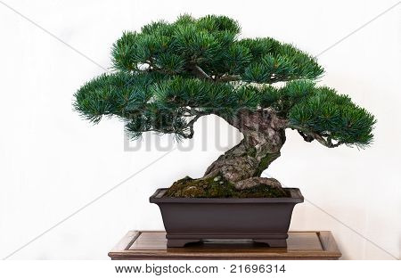 Pine Tree As Bonsai