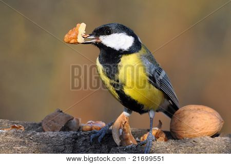 Great tit with nut in bill.