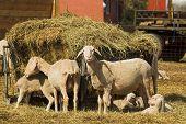 stock photo of feedlot  - flock of sheeps on a farm eating hay - JPG