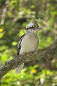 pic of kookaburra  - A Kookaburra - JPG