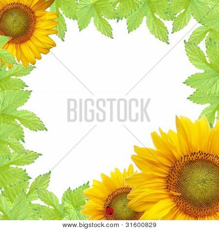 Green Leaves  Frame With Sunflower