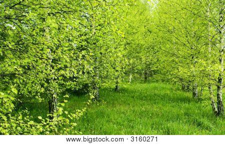 Birch Country.