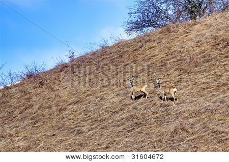 Roe Deer Bucks