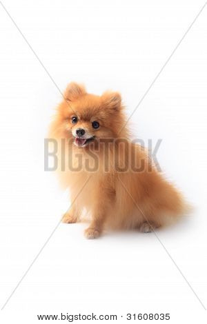 pomeranian dog sitting in front of white