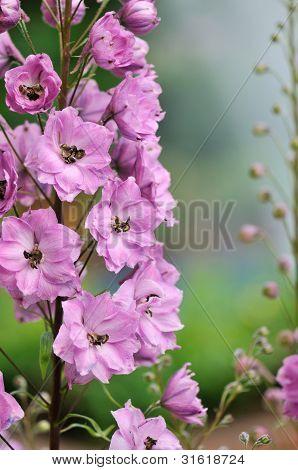 Pink Delphinium Flowers