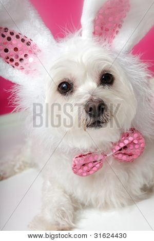 Pretty Fluffy White Dog In Fancy Bunny Costume