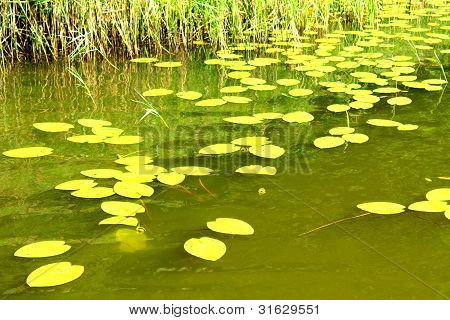 Water Lilies On The Forest Lake