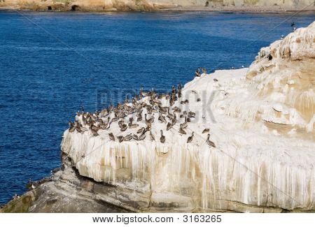Pelicans On La Jolla Rocks