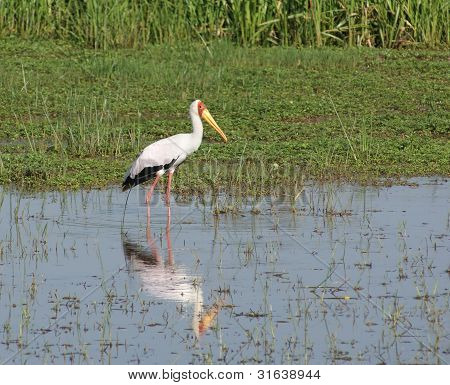 Yellow-billed Stork In Africa