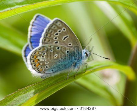 Butterfly Lycaenidae