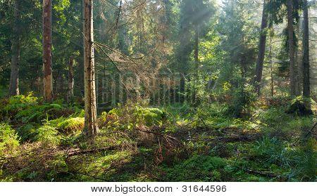 Mañana otoñal con rayos de sol entrando en el bosque