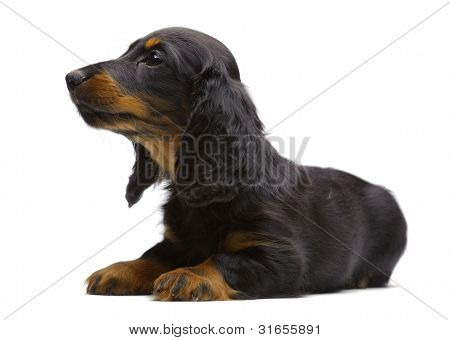 Portrait Of Laying Puppy Of Dachshund