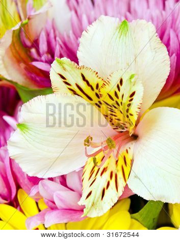 Close up macro image of alstromeria or Peruvian lilly