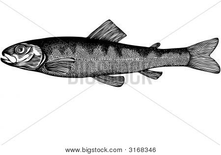 Fish Salmon Parr Illustration