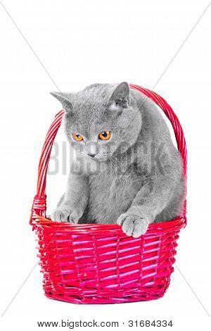British Blue Cat Sitting In Pink Basket On Isolated White