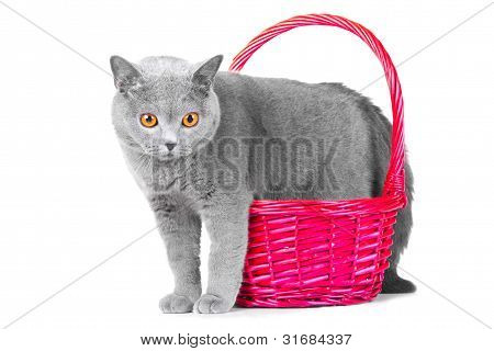 British Blue Cat Standing Near Pink Basket On Isolated White