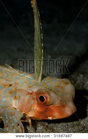 Flying Gurnard in Lembeh Straits