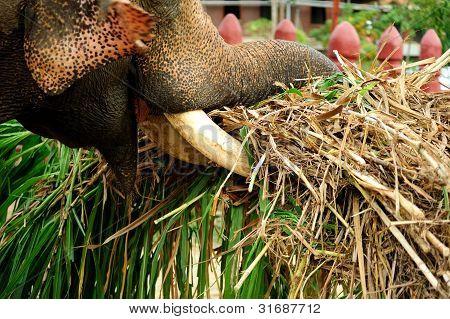Bull Elephant Carrying Grasses Detail
