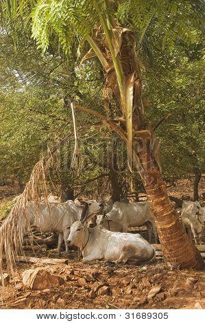 Zebu Bullen unter einer Palme