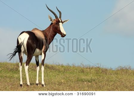 A bontebok antelope in South Africa