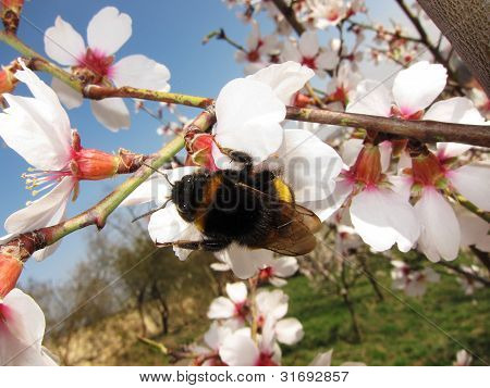 Bumblebee on blossom