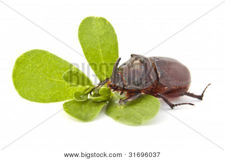 Beetle - Rhino On A Green Leaf