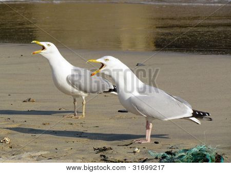 Two seagull birds squawking with beaks wide open, St. Ives Cornwall UK.