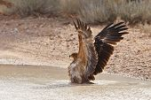 Tawny Eagle bathing