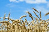 Wheat Field. Ears Of Golden Wheat Close Up. Ears Of Wheat On A Background Of Blue Sky On A Sunny Sum poster