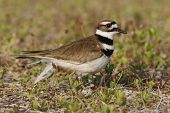 Killdeer Plover With Egg