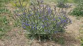 Beef Tongue Herb, Medicinal Herbs Beef Tongue, Beef Tongue Blue Flowering Plant, poster