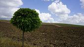Bonus Tree, Tree Varieties, Leafy Bonus Trees, poster