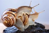 Connubium Of Snails
