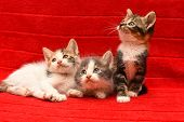 Three Beautiful Kittens. Three Baby Kittens Isolated On Red Background poster