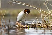 foto of great crested grebe  - great crested grebe mating on their nest - JPG