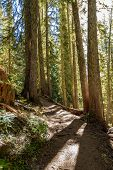Sun Shines Through Pine Forest On Trail In Pacific Northwest poster