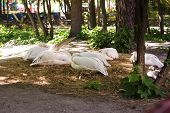 Pelicans Resting From A Pond. Pelicans Having Rest On Grass During Sunny Day poster