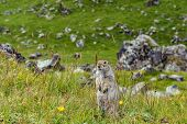 The Furry Cute Gopher Stands On A Green Meadow In Sunny Day poster