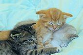 Three Kittens Sleeping. Cute Kittens Indoors. Pets, Animals Concept. poster