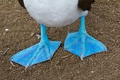 stock photo of blue footed booby  - Close - JPG
