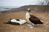 picture of blue footed booby  - Blue - JPG