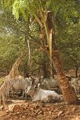 image of zebu  - herd of Zebu cattle resting under a palm tree  - JPG